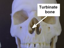 Photo of a skull showing the turbinate bone in the nasal cavity